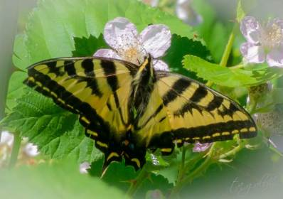 tigerswallowtailbutterfly-1874
