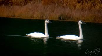 swans-0748