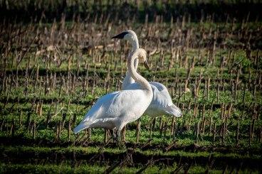swans-1540