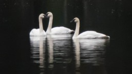 swans6cropped